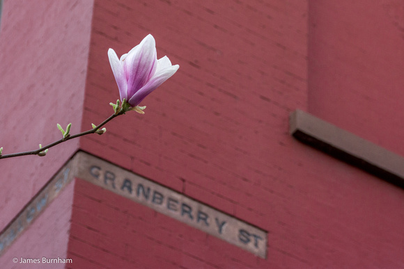 Cranberry Street Magnolia
